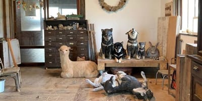 Pies z Japonii zamienia się w rzeźbę: video podbija serce 6 milionów internautów