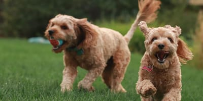 Two Poodle dogs running