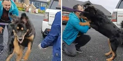 Mastif tybetański wita się z panem