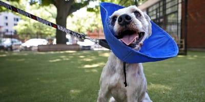 Su perro se come algo en la calle: horas después, el veterinario le hace una radiografía y se pone furioso
