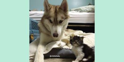 Husky se encuentra con una gatita bebé al borde de la muerte y su reacción deja a todos sin palabras