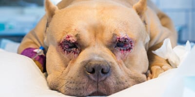 Entropium beim Hund: Symptome, Ursachen und Behandlung