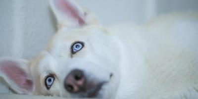 Cane-bianco-dagli-occhi-blu
