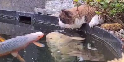 Watch: Ragdoll sits by the fishpond and does something unbelievable