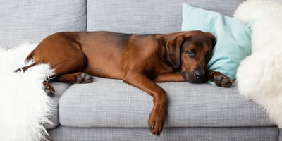 Chore stawy u psa
