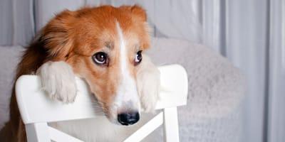 Déficit propioceptivo en perros
