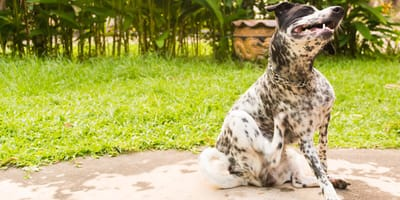 perro con dermatitis rascandose