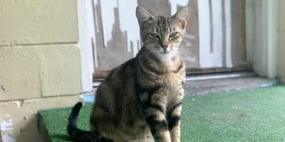 ciężarna kotka
