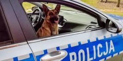 Cane-in-macchina-della-polizia