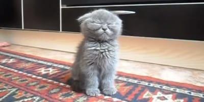 scottish fold kitten sitting on rug