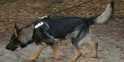 owczarek niemiecki policja na służbie