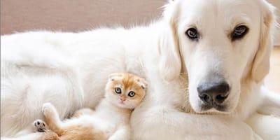 Golden retriever spotyka kociaka. To, co się między nimi dzieje, jest przeurocze!