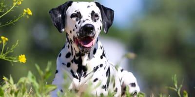 ¿Cómo saber si mi perro tiene pedigree?