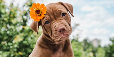 ¿Qué hay que hacer para que un perro obtenga el pedigree en España 2020?