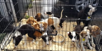beagle and border collie puppies in crate