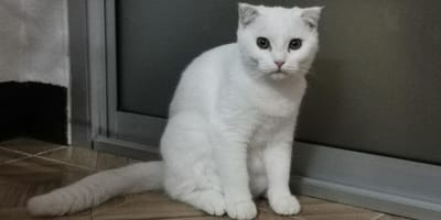 A white cat sits for a photograph