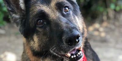 Ein Schäferhund schaut in die Kamera