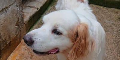 cane bianco con orecchie arancioni