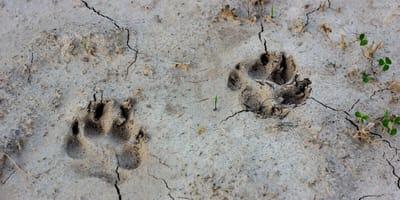 Hundespuren im Sand