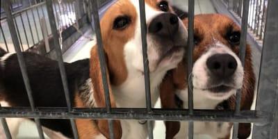 due Beagle in gabbia