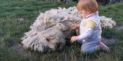 baby playing with komondor