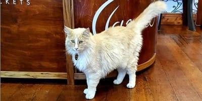 gatto rossiccio