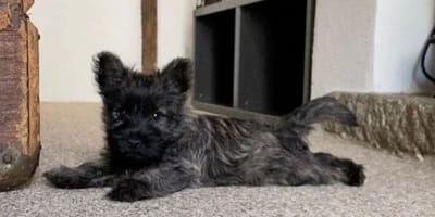 Black fluffy puppy