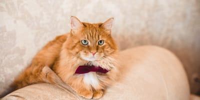 gato sentado con pajarita