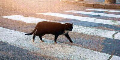 gato negro cruza paso peatones