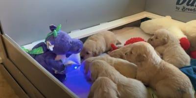 golden retriever puppies standing around purple dragon plushie