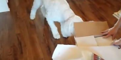 Weißer Hund schnuppert an Karton