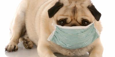 Disnea en perros