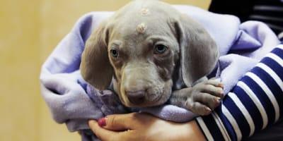 Pyodermie beim Hund: Was tun gegen die Hautentzündung?