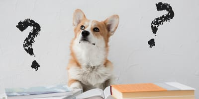 pembroke corgi looking at books with black question marks on wall