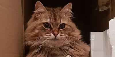 Su gato siberiano desaparece y vuelve a casa con una sorprendente nota atada al collar
