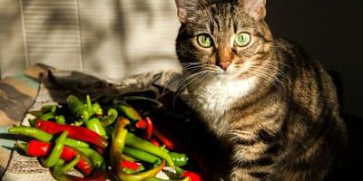 Descubre todo sobre el gato doméstico mexicano, sus características y cuidados