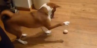 """Basenji po raz pierwszy widzi jajko. Jego próba zabawy z nową """"piłką"""", rozśmieszy was na 100%"""