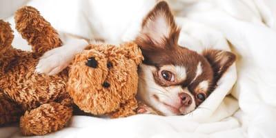perro chihuahua raza pequeña