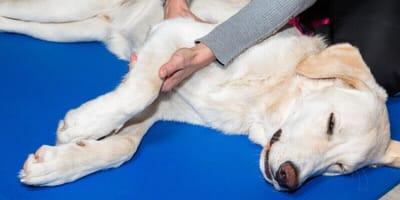 Heilende Hände: Osteopathie für Hunde