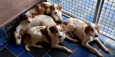 cani breton