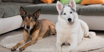 dos perros en el salon de una casa