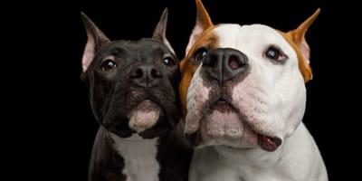 El top 10 de las razas de perros más bravos del mundo