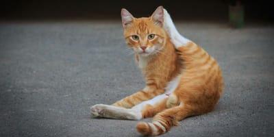 Der Katzenpenis, eine stachelige Angelegenheit
