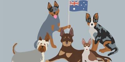 Australijskie rasy psów - czy znasz je wszystkie?
