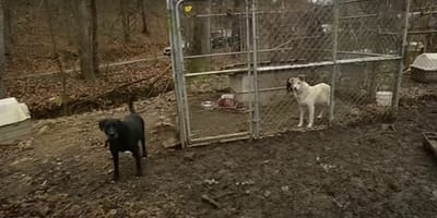 Dwa psy w klatkach