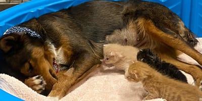 brown mixed breed dog nursing kittens