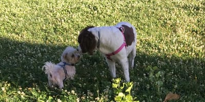 bichon maltes juega con otro perro en la hierba