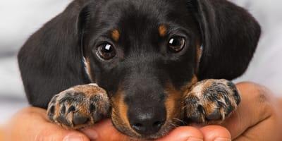 Razones para adoptar a uno o varios perros salchicha y no arrepentirte jamás