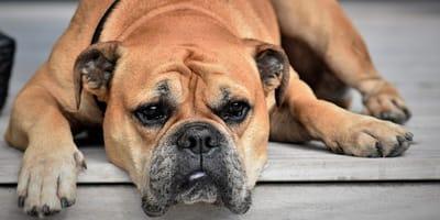 brown bulldog lying on porch