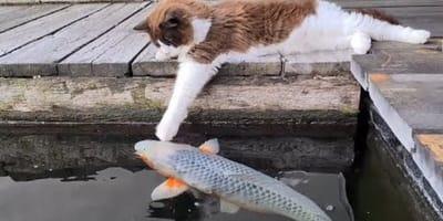 Kot zagląda do stawu z rybami: to co dzieje się później, po prostu trzeba zobaczyć (VIDEO)